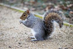 Sigma 100-300mm f/4 EX DG IF HSM second squirrel picture
